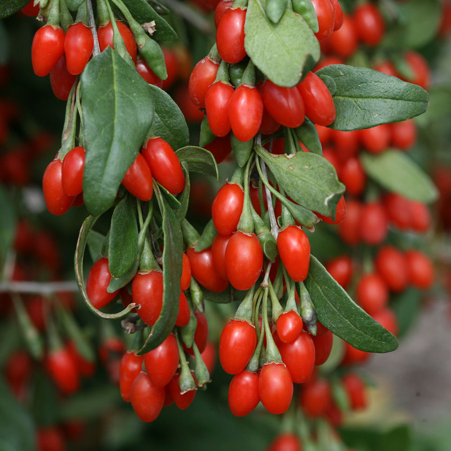 goji-berries-on-vine