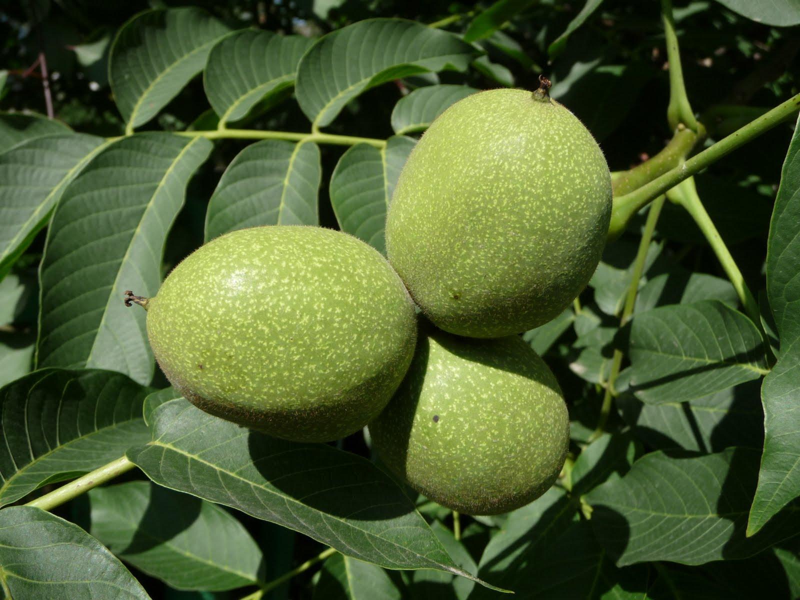 green-walnut