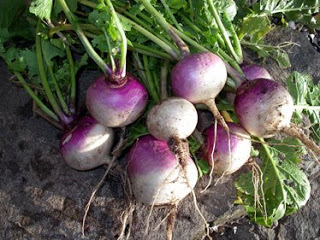 purple-top-white-globe-turnip7