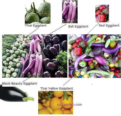 eggplant_varieties