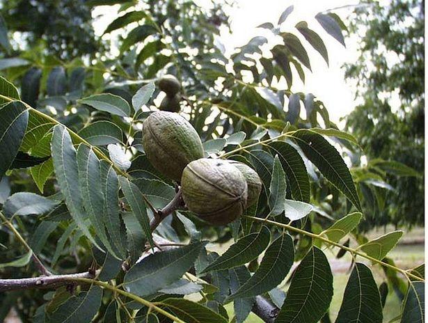 pecan-tree