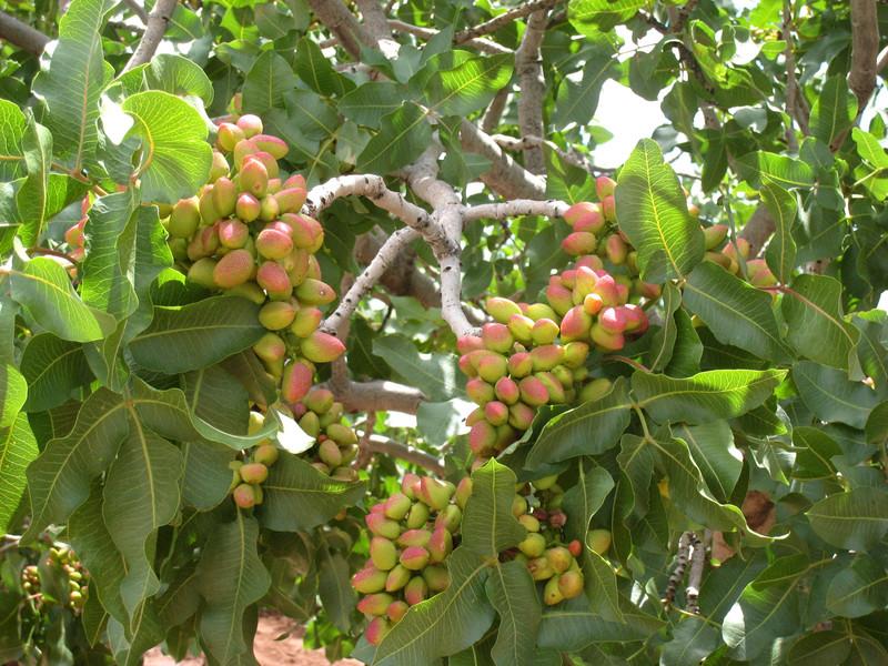 pistachio_farm_4_copy