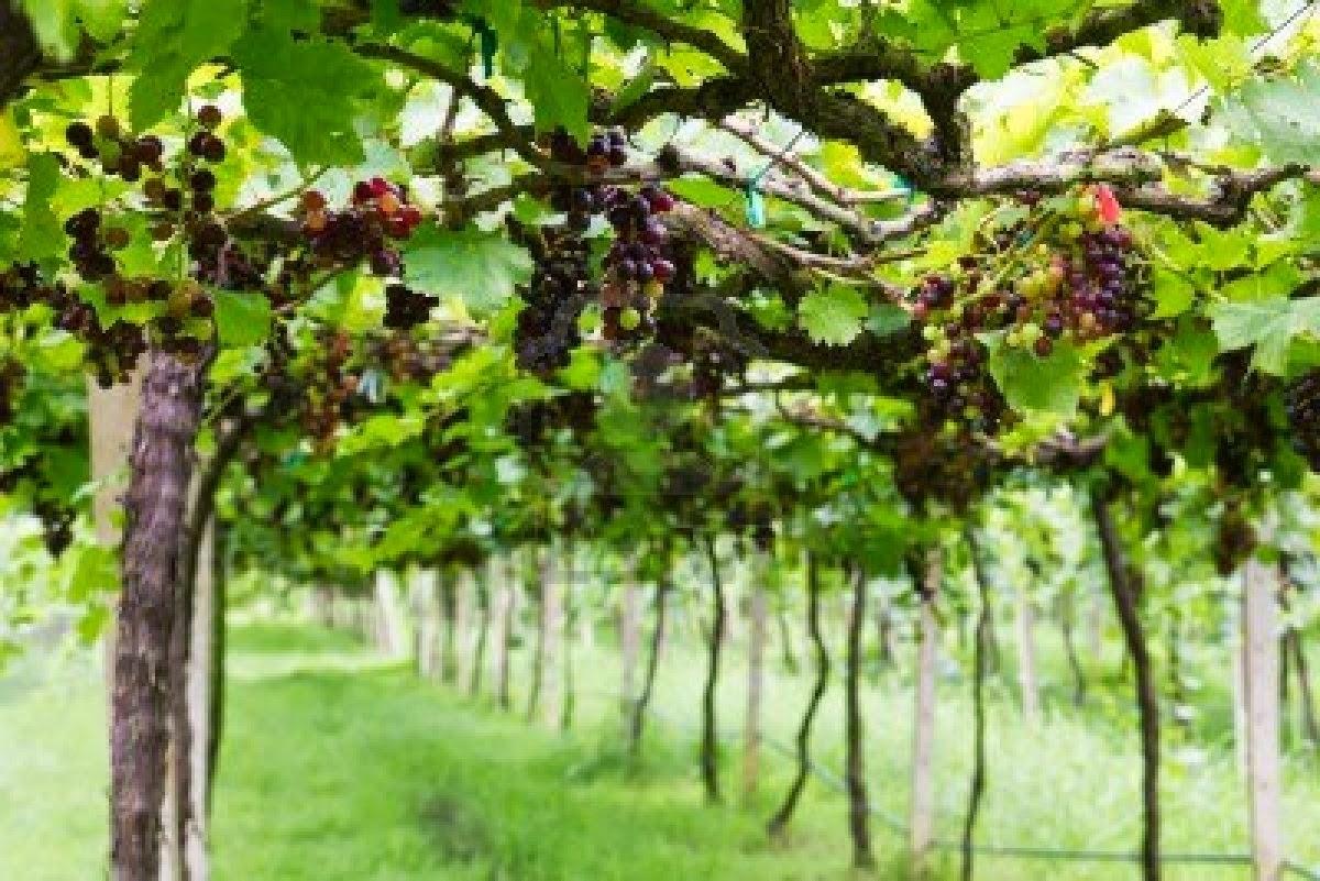 10455827-red-grape-vine-in-the-yard
