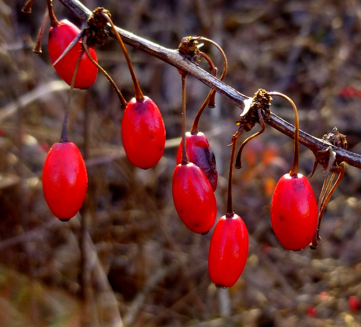 4-barberry-fruit