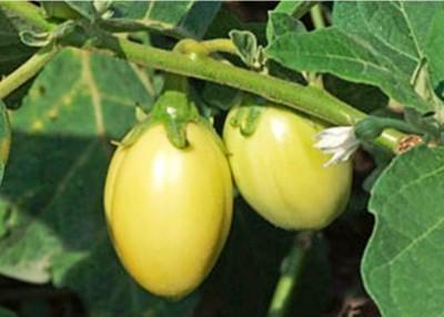 4-african-eggplant-e1334851669916