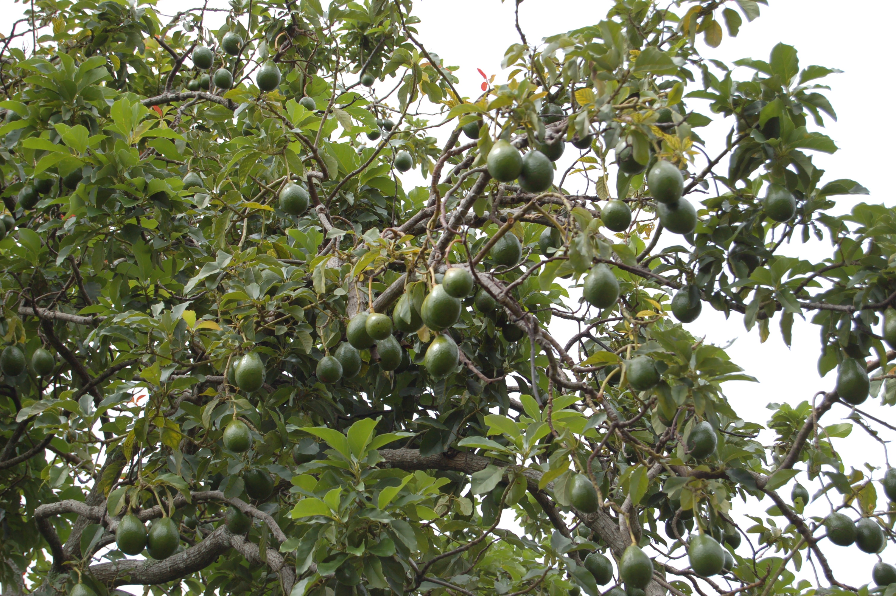 avocado_tree_2473587957