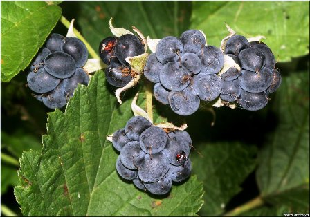 dewberry-fruit