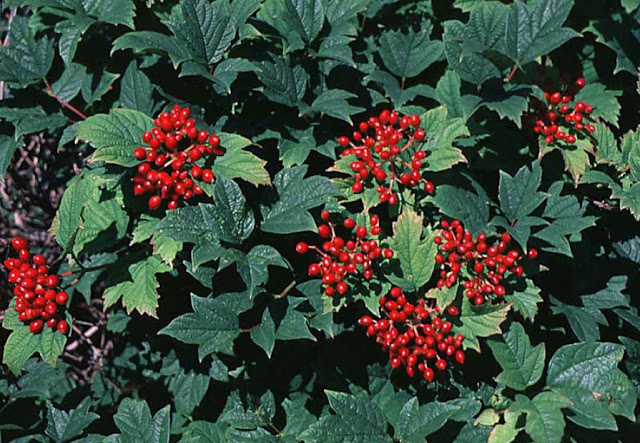 european-cranberrybush-viburnum-4