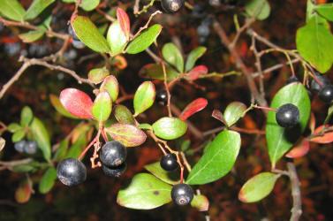 farkleberry-vaccinium-arboreum-ko_small