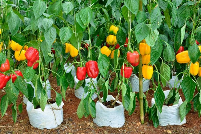 group-of-different-coloured-bell-pepper-plants-lr