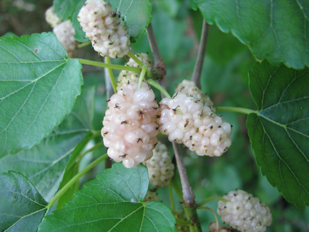 white-mulberry-leaf
