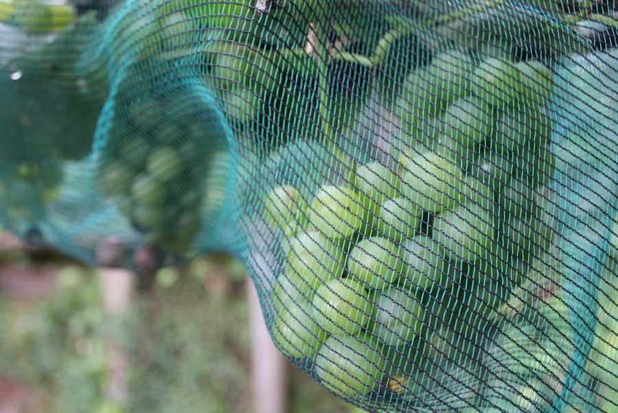 bird-mesh-over-grapes-kel