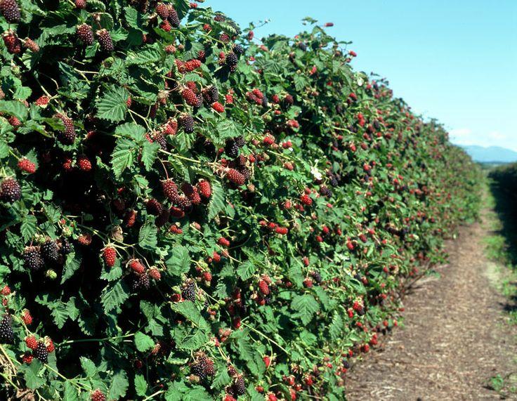 boysenberry-bush
