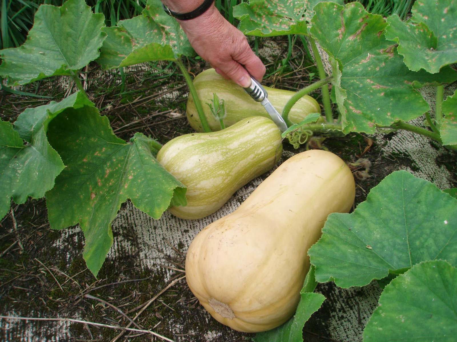 butternut-crop