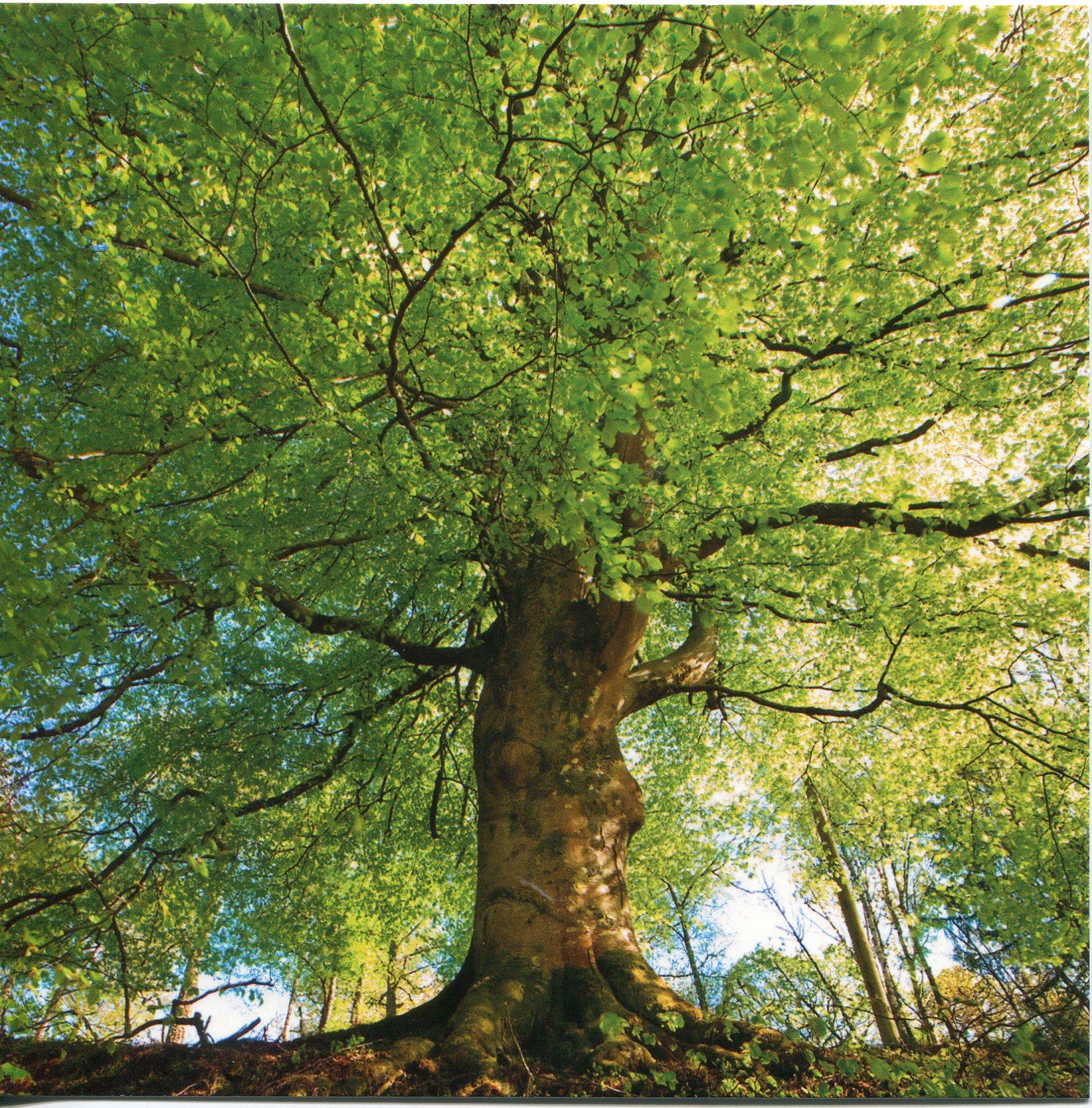 france-beech-tree