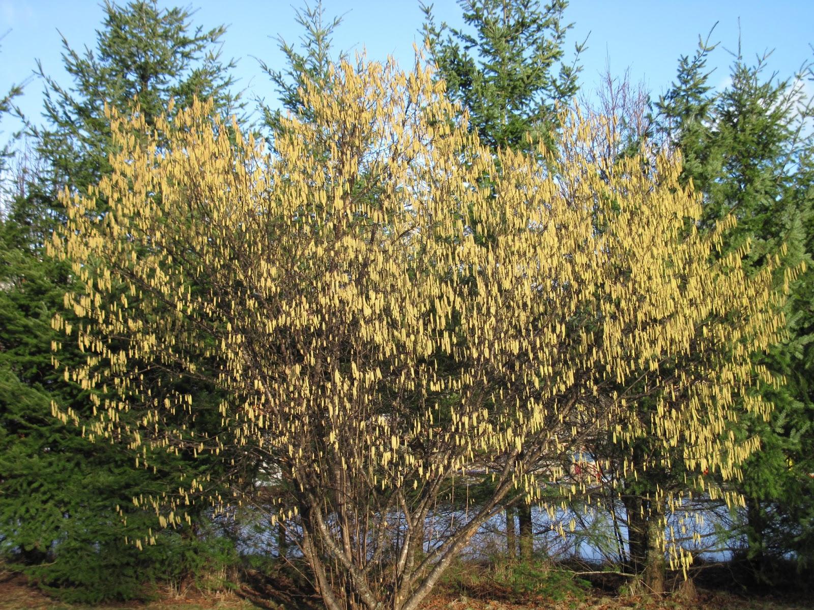hazelnut-tree