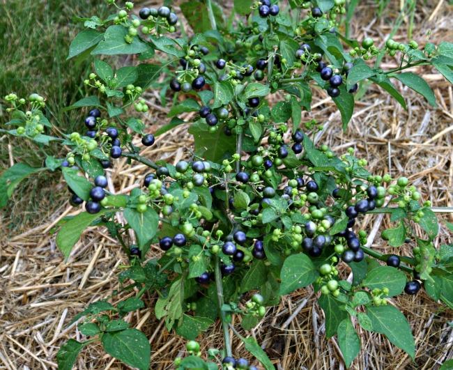 huckleberries-7-17-12