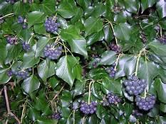 ivy-berry