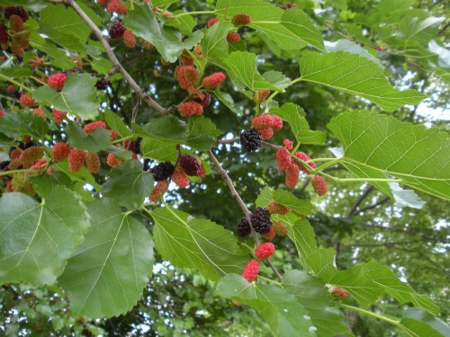 mulberry-fruit-2-500x375