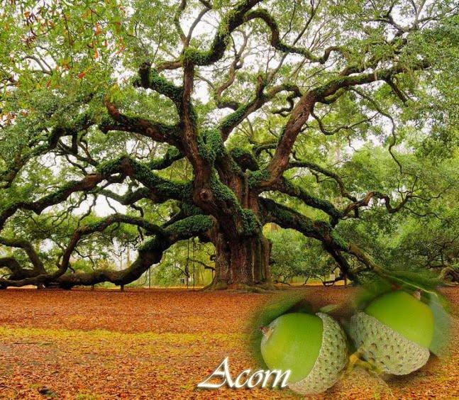 oaktreeacorn