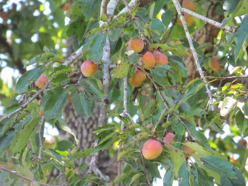persimmon-american-local-3