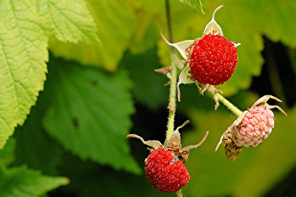 plant-thimbleberry-fruit-big