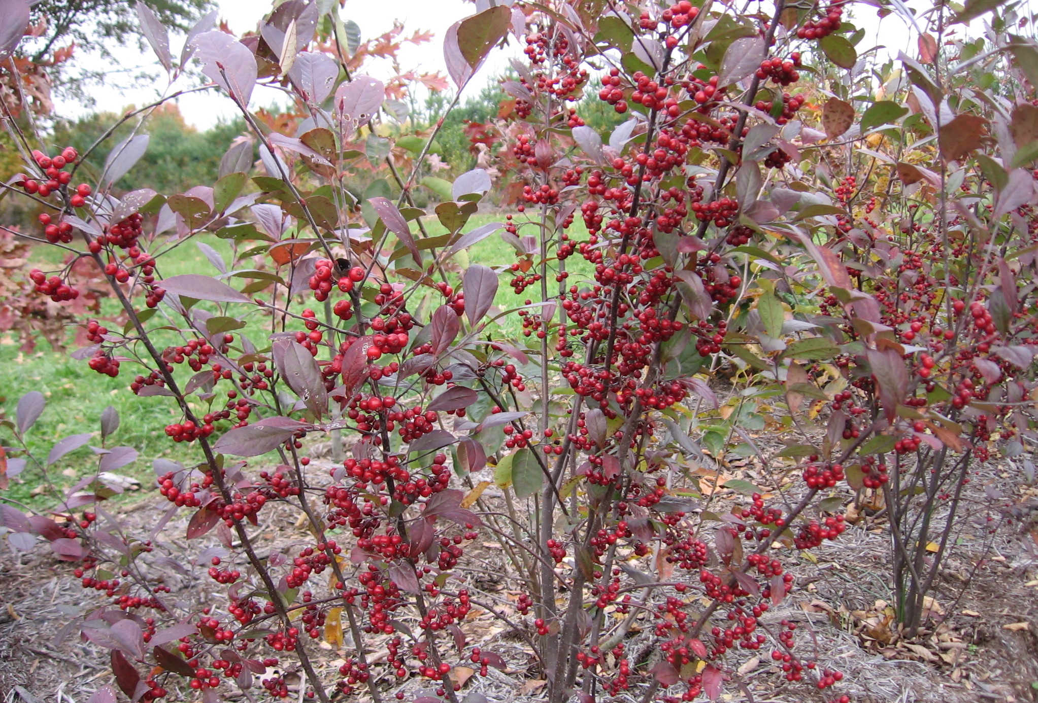 red-chokeberry