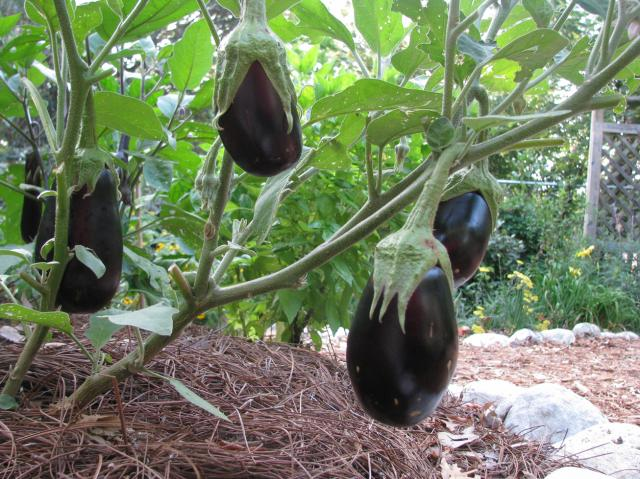 rs-eggplants