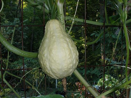 white-gourd