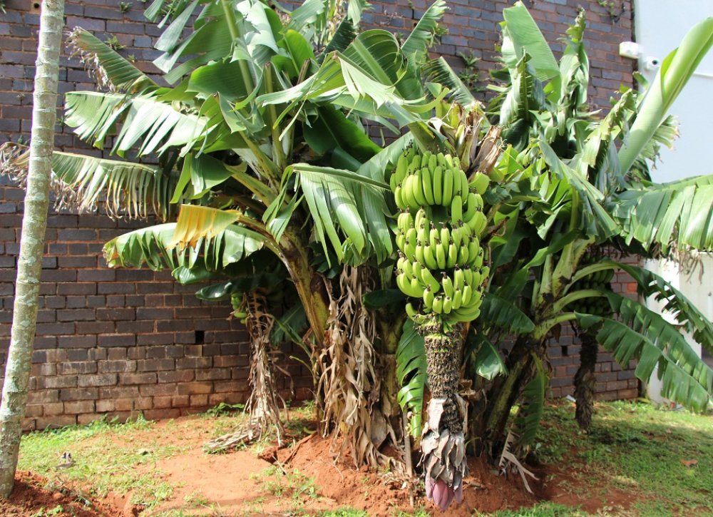 banana-trees-pictures-3