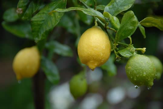 citrus-limonia