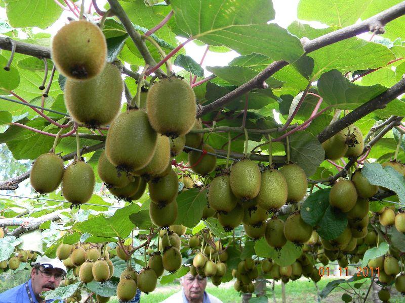 kiwi-fruitblogjan12_