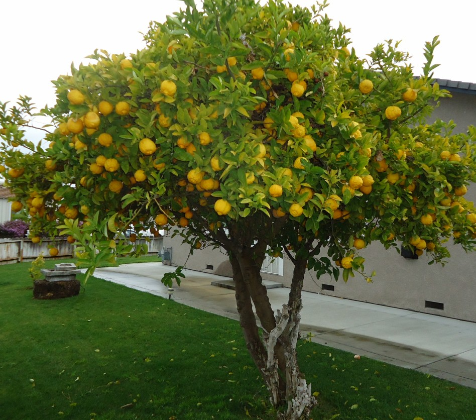 lemon_tree_in_santa_clara_california