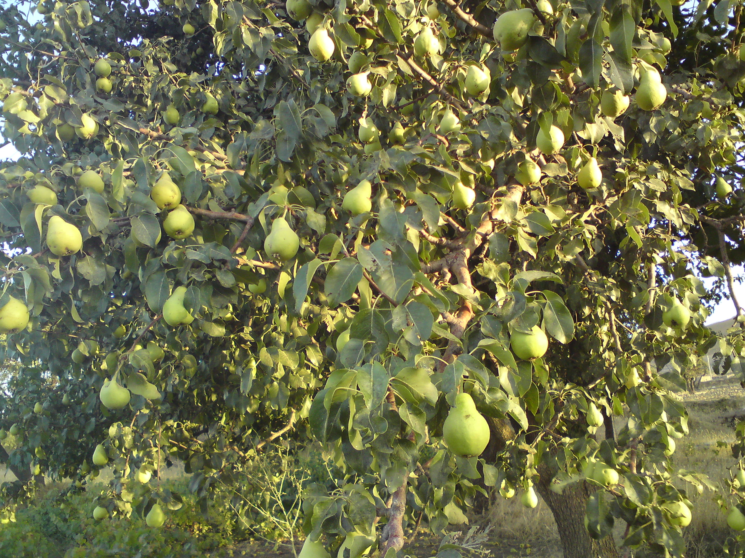 pear_tree_in_hamedan_iran