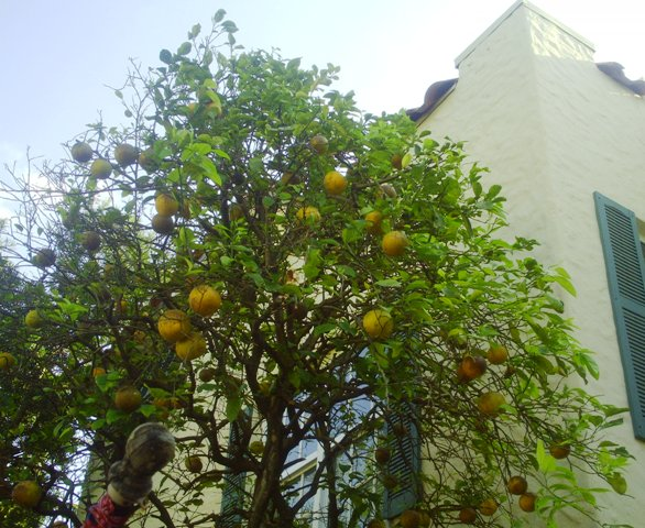 ugli-fruit-tree
