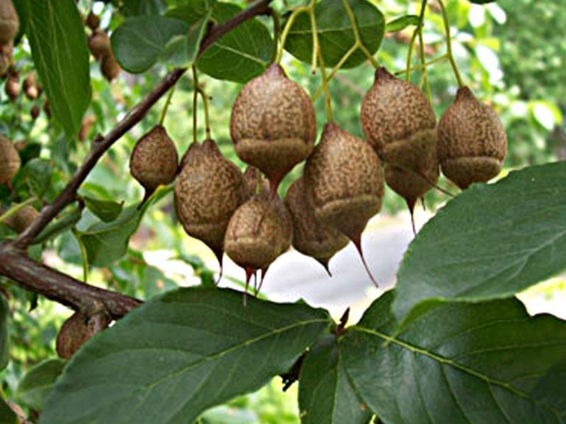 xylocarp-fruit-images