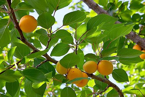 apricot-tree-02