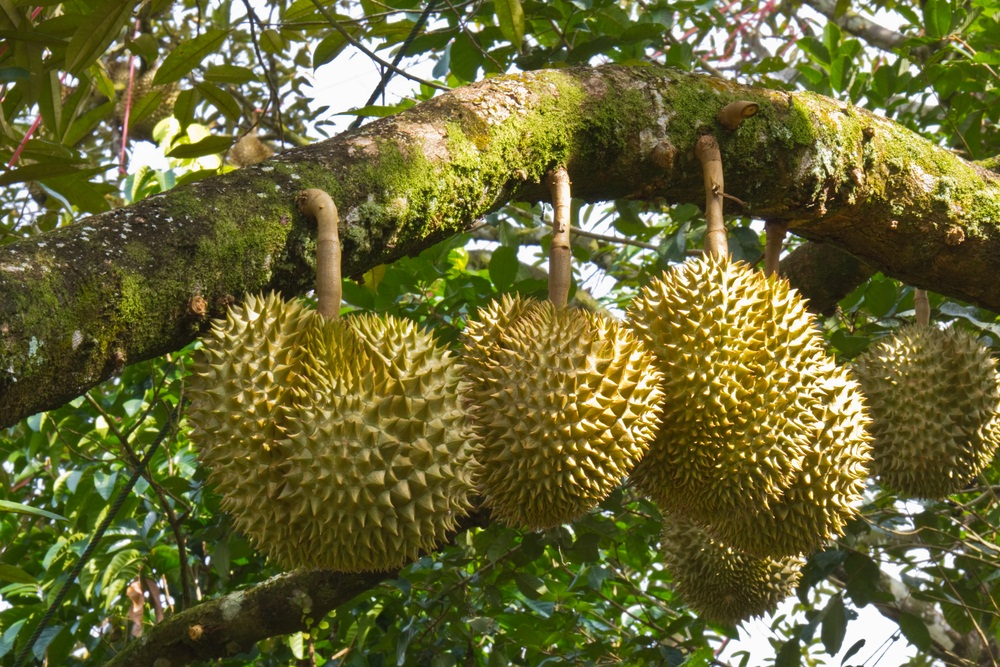 durian-tree-fruit