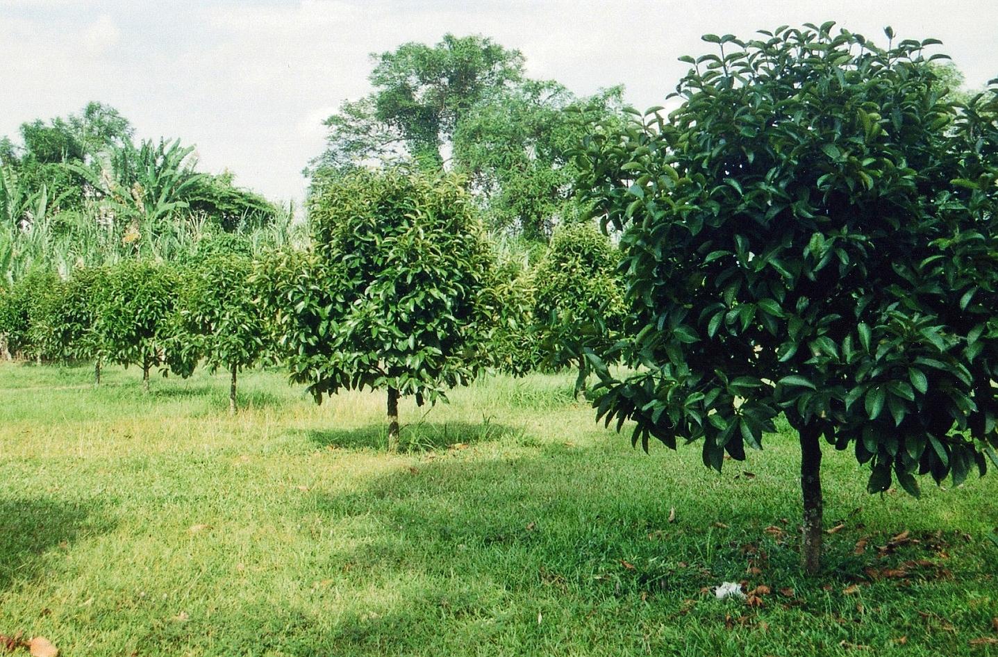 mangosteen-trees