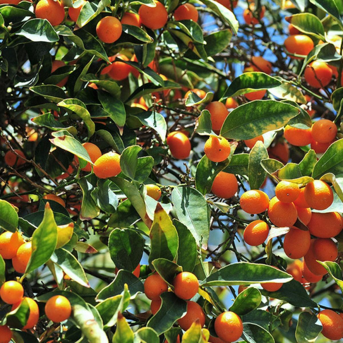 nagami-kumquat_9