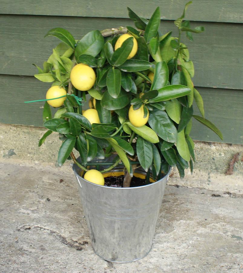 original_limequat-tree