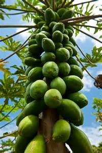 papya-tree
