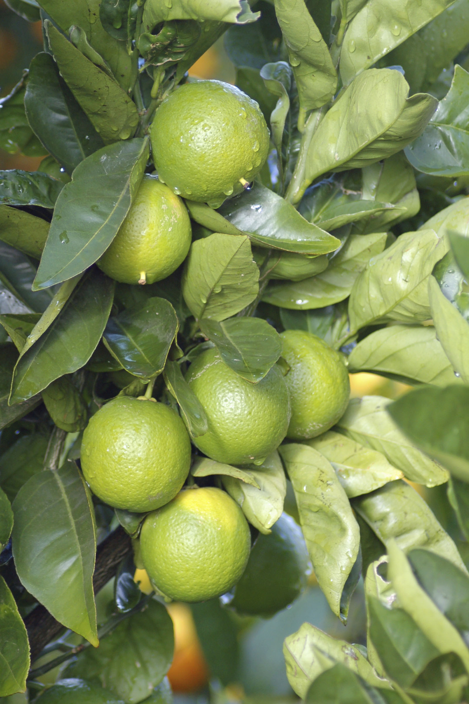 persian-lime-tree