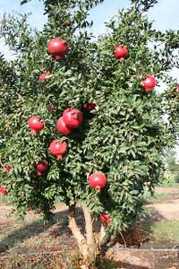 pomegranete-tree