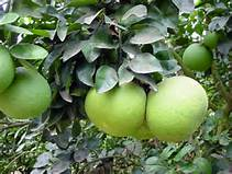 pomelo-tree
